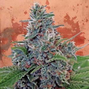 Auto Blue Amnesia - Ministry of Cannabis