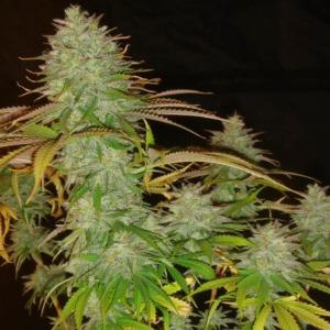 Pure Power Plant - Nirvana Seeds