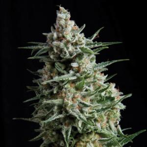 Anesthesia - Pyramid Seeds