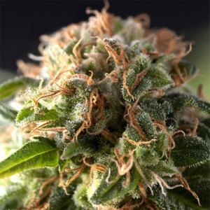 Auto Fresh Candy - Pyramid Seeds