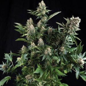 Auto White Widow - Pyramid Seeds