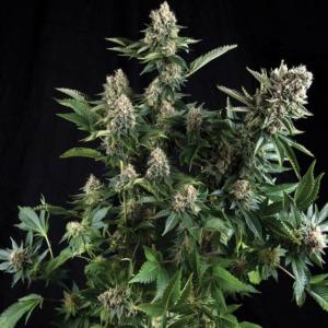 White Widow - Pyramid Seeds