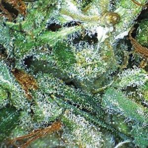 Big Bud - Vision Seeds