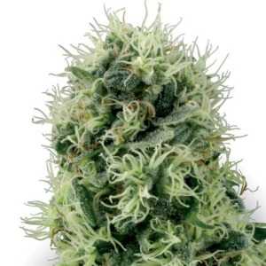 Pure Power Plant - White Label Seeds