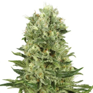 Skunk Automatic - White Label Seeds