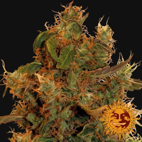 8 Ball Kush weed bud - Barney's Farm