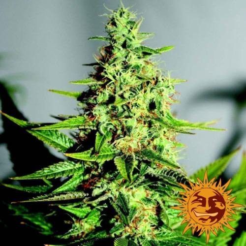 Acapulco Gold cannabis plant - Barney's Farm