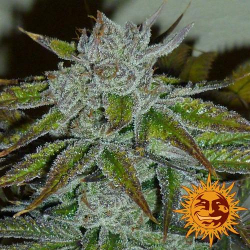 Barney's Farm - Acapulco Gold cannabis