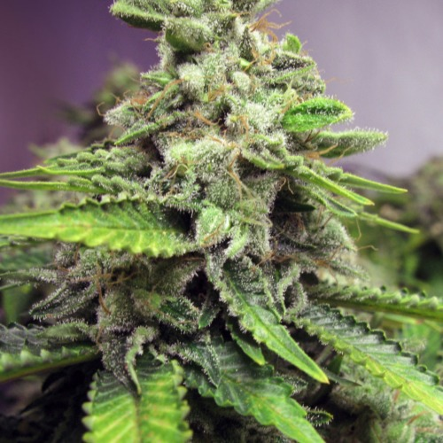 Afghan Skunk from Advanced Seeds contains powerful skunk genetics with an high content of THC (17%)