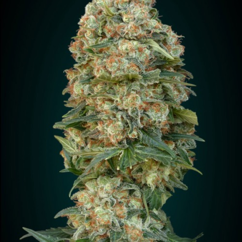 The top of the Afghan Skunk cannabis plants from Advanced Seeds.