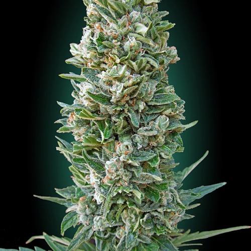 Auto Heavy Bud autoflower - Advanced Seeds
