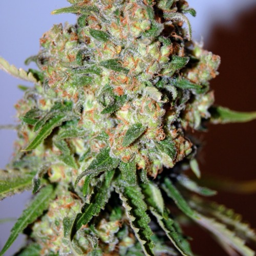 Advanced Seeds Critical cannabis plant bud.