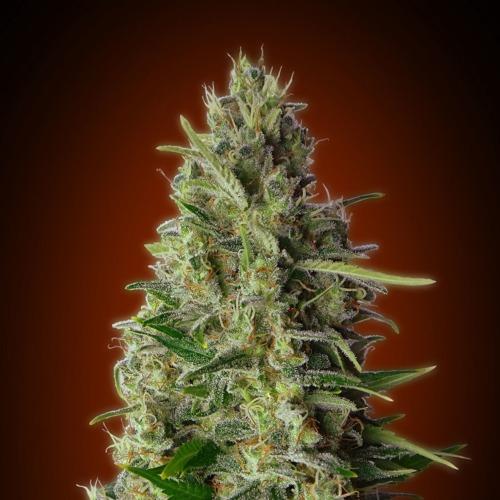 Advanced seeds Kali 47 cannabis plant bud.