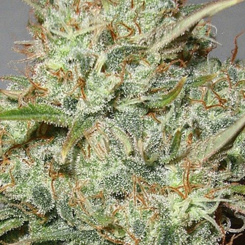 Advanced Seeds Shark Widow cannabis plant bud.