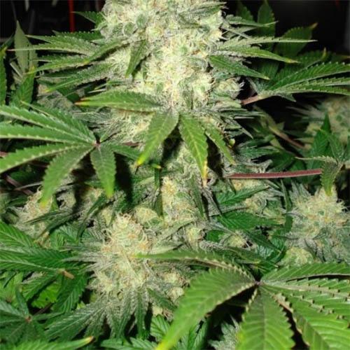 Afghan Skunk - Private Label Cannabisseedsshop.com