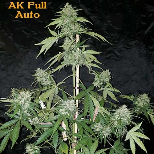 AK Full Auto - Sumo Seeds in pot