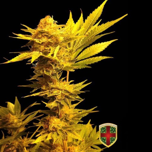 Jack Golden Auto - All-in Medicinal Seeds autoflower