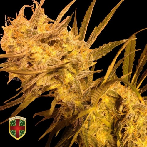 Benedicta - All-in Medicinal Seeds feminized wietzaadjes