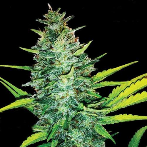 Big Bolt - All-in Medicinal Seeds