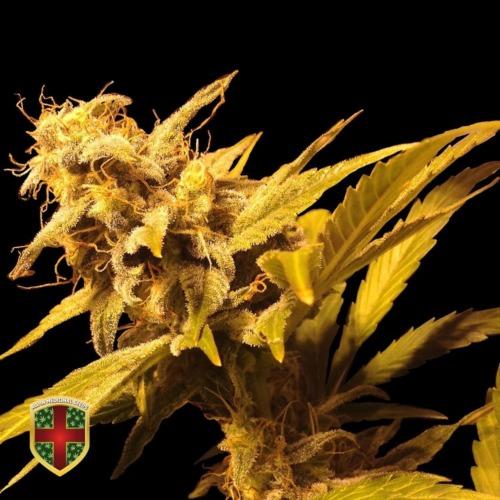 Big Marley - All-in Medicinal Seeds