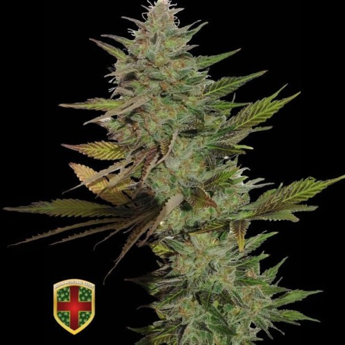 Mister Candy - All-in Medicinal Seeds