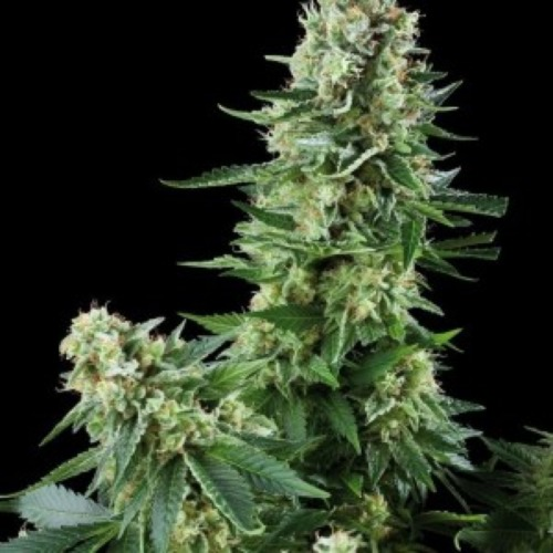 White Widow - Amaranta Seeds