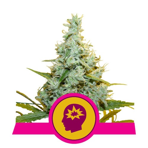 AMG - Royal Queen Seeds