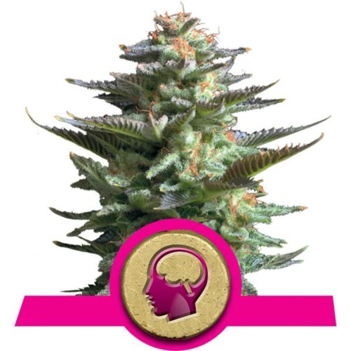 Amnesia Haze Top - Royal Queen Seeds