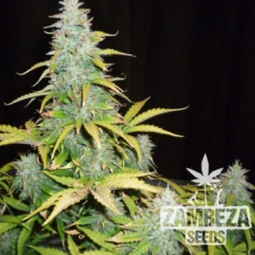 Amnesia Haze XL Auto - Zambeza Seeds wiet top