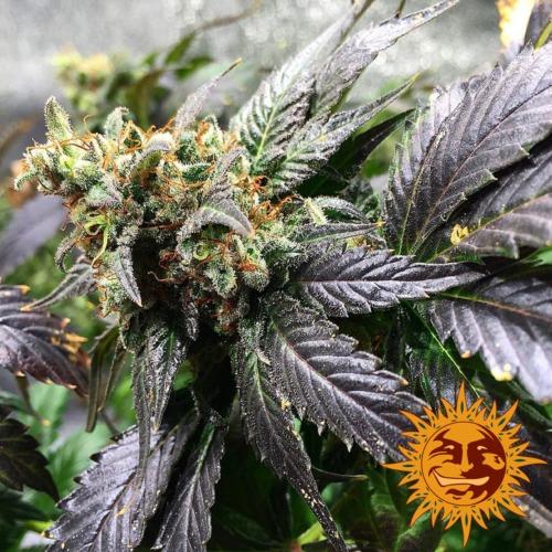 Amnesia Lemon wiet plant - Barney's Farm