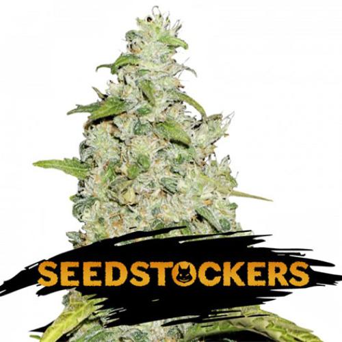 Amnesia - Seedstockers
