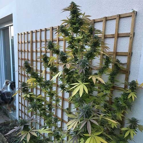Appleberry - Sumo Seeds wietplant tegen muur
