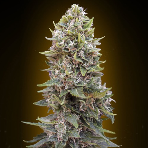 Auto Hashchis Berry - 00 Seeds