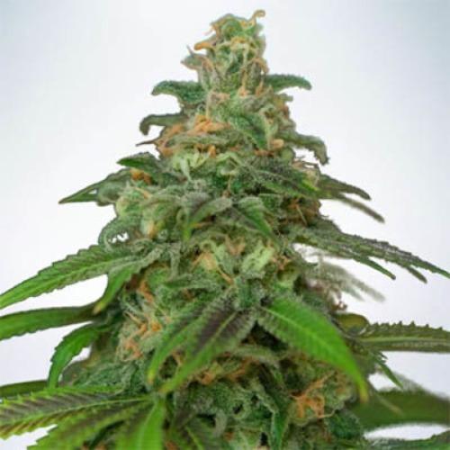 Auto Mandarin Haze - Ministry of Cannabis