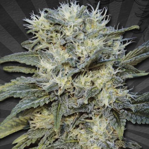 Auto Chemdog Autoflower - Auto Seeds