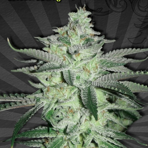 Diesel Berry Autoflower - Auto seeds