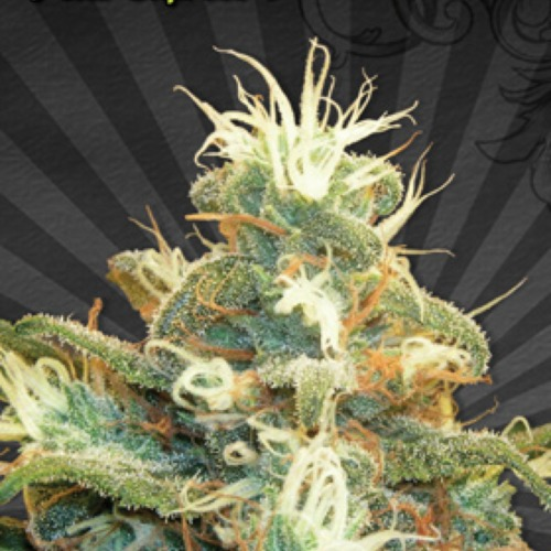 Polar Express Autoflower - Auto seeds