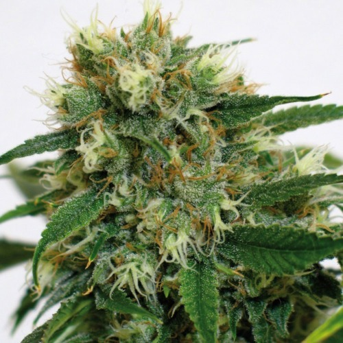 Flowering bud from the Phatt Fruity cannabis plant from Barney's Farm.