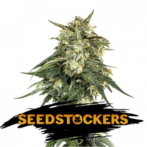 BCN Critical XXL Fast - Seedstockers