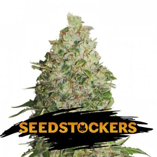 BCN Critical XXL - Seedstockers