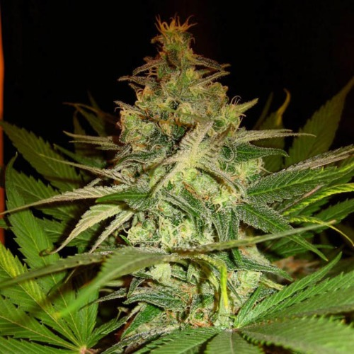 Masa Critika - BCN Seeds wiet top wietplant bloei