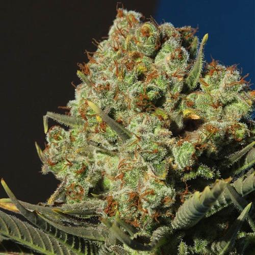 Nacho's Bud - BCN Seeds close up wietplant top