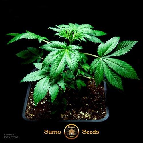 Berries & Cheese - Sumo Seeds wietplant in groei