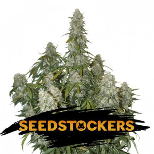 Big Bud Auto - Seedstockers