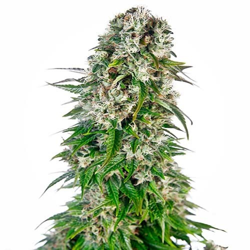 Big Bud Auto - Sensi Seeds