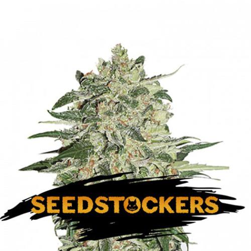 Big Bud - Seedstockers