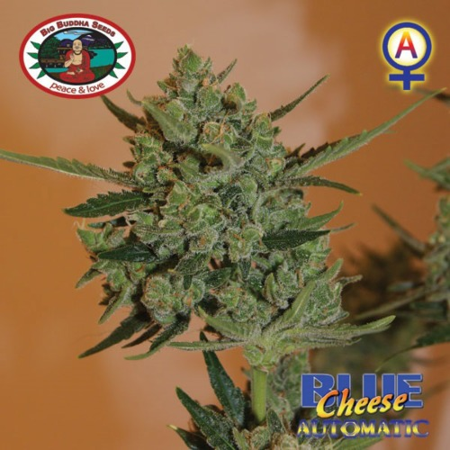 Blue Cheese Automatic - Big Buddha Seeds
