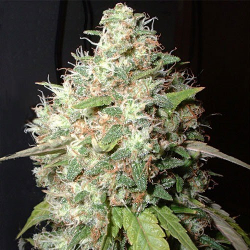 Bubble Cheese - Big Buddha Seeds