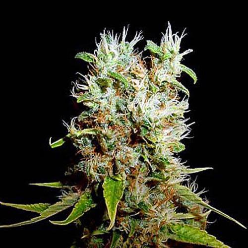 Buddha Haze - Big Buddha Seeds