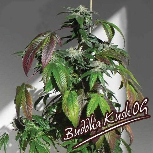 Buddha Kush OG - Big Buddha Seeds wiet plant kweken